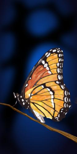 Coque ARTISTE Papillon