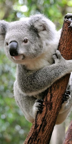 Coque Save Koala Australie